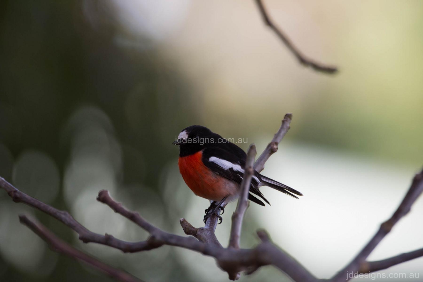 Scarlet Robin, Denmark, WA.