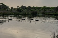 Black Swans on Wilson Inlet on foggy day, DSC_0851
