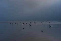 More Black Swans on Wilson Inlet on foggy day, DSC_0859