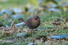 Red Eared Firetail Finch, Denmark, WA. DSC_6612